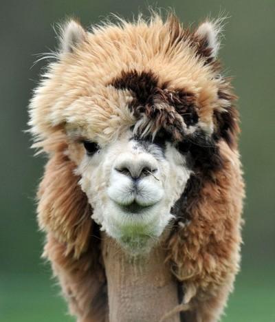 Альпака - самые смешные животные
