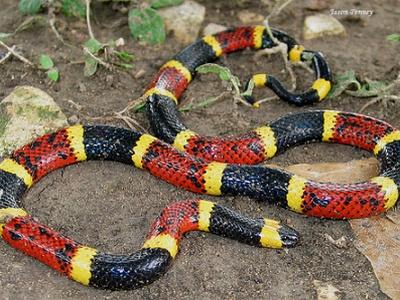 Аспид - ядовитая змея