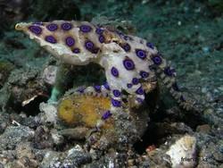 Сине-кольчатый осминог