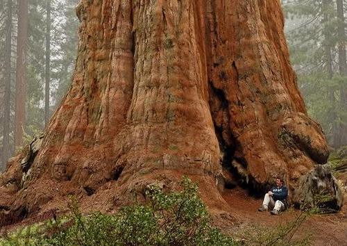 Секвойа - самое большое дерево