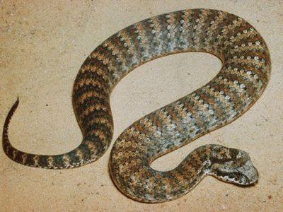Гадюкообразная змея - самые ядовитые змеи