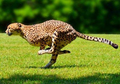 Самое быстрое животное - гепард