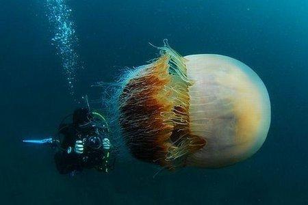 Огромная ядовитая медуза