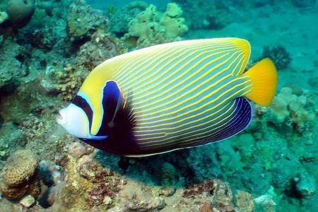 Императорские ангелы - самая красивая рыба в мире