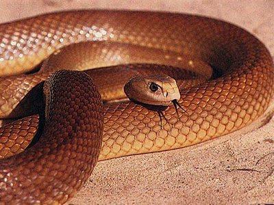 Жестокая змея - самая ядовитая змея мира