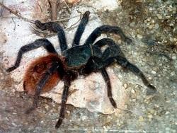 Туннельный паук