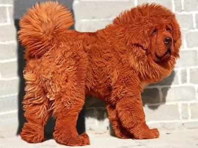 Самый дорогой собака