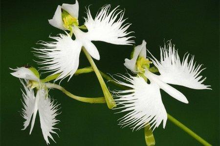 Орхидея белой цапли