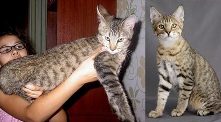 Пикси-боб - большая кошка