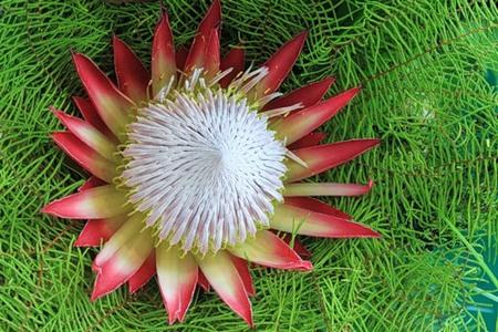 Цветок Протеи