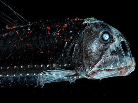 Рыба-гадюка - самое ужасное животное