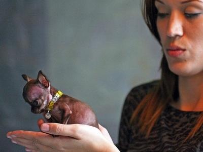 Чихуахуа супер обзор породы собак с фото и видео