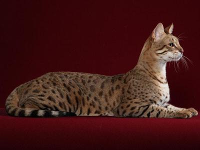 Самые редкие кошки