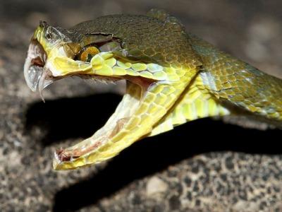 Самые ядовитые змеи мира