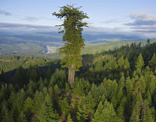 Самое большое дерево мира