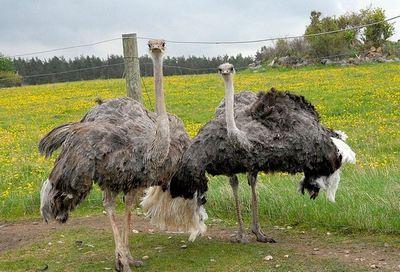 Африканский страус - самая большая птица