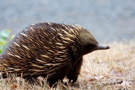 Западная проехидна - редкие животные