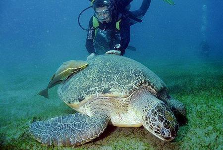Зелёная черепаха - самые большие черепахи